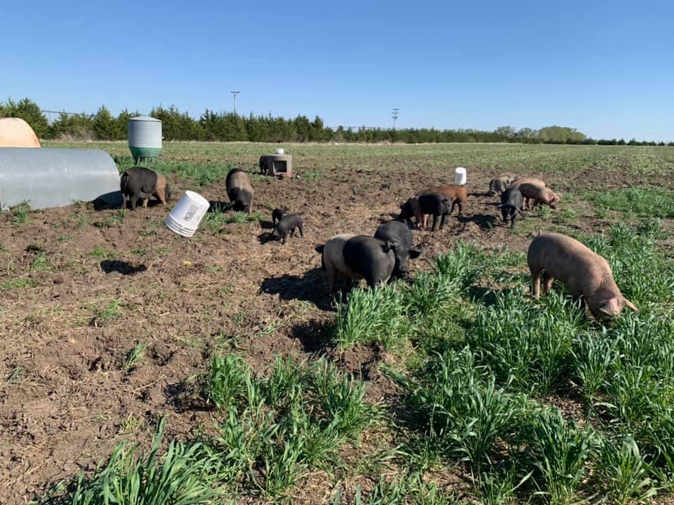 Pigs on the Erstwhile Farm